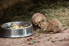 Τα με μαύρη ουρά σκυλιά λιβαδιών τρώνε τα φρούτα Στοκ Εικόνες