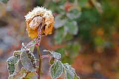 Τα μικρά άσπρα κρύσταλλα πάγου που διαμορφώνουν ξηρό σε παλαιό αυξήθηκαν λουλούδι Στοκ Εικόνες