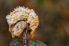 Τα μικρά άσπρα κρύσταλλα πάγου που διαμορφώνουν ξηρό σε παλαιό αυξήθηκαν λουλούδι Στοκ Φωτογραφία
