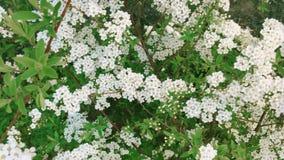 Τα μικρά άσπρα λουλούδια κλείνουν επάνω φιλμ μικρού μήκους