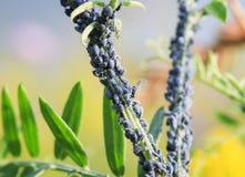 Τα μικρά έντομα aphids καλύπτουν το μίσχο εγκαταστάσεων στον κήπο Στοκ εικόνα με δικαίωμα ελεύθερης χρήσης