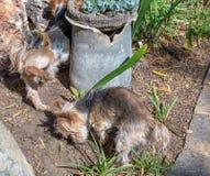 Τα μικρά αρσενικά σκυλιά κατουρούν ενάντια σε ένα δοχείο λουλουδιών στοκ φωτογραφία με δικαίωμα ελεύθερης χρήσης
