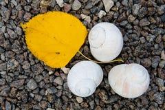 Τα μικρά ελαφριά κοχύλια και ένα κίτρινο φύλλο της σημύδας βρίσκονται στις πέτρες στοκ εικόνα