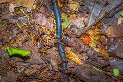 Τα μικρά κόκκινα μυρμήγκια που κόβουν το δέντρο βγάζουν φύλλα, στο έδαφος μέσα στο δάσος στο εθνικό πάρκο Cuyabeno, στον Ισημεριν Στοκ Φωτογραφία