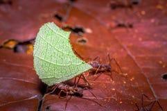 Τα μικρά κόκκινα μυρμήγκια που κόβουν το δέντρο βγάζουν φύλλα, στο έδαφος μέσα στο δάσος στο εθνικό πάρκο Cuyabeno, στον Ισημεριν Στοκ φωτογραφία με δικαίωμα ελεύθερης χρήσης