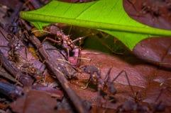 Τα μικρά κόκκινα μυρμήγκια που κόβουν το δέντρο βγάζουν φύλλα, στο έδαφος μέσα στο δάσος στο εθνικό πάρκο Cuyabeno, στον Ισημεριν Στοκ Εικόνα