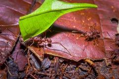 Τα μικρά κόκκινα μυρμήγκια που κόβουν το δέντρο βγάζουν φύλλα, στο έδαφος μέσα στο δάσος στο εθνικό πάρκο Cuyabeno, στον Ισημεριν Στοκ Εικόνες