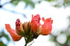 Τα μικρά λουλούδια οδοντώνουν την κόκκινη πορτοκαλιά όμορφη άνθιση στη φύση Στοκ Εικόνες