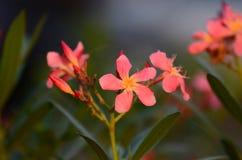Τα μικρά λουλούδια οδοντώνουν την κόκκινη πορτοκαλιά όμορφη άνθιση στη φύση Στοκ Φωτογραφία