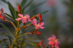 Τα μικρά λουλούδια οδοντώνουν την κόκκινη πορτοκαλιά όμορφη άνθιση στη φύση Στοκ εικόνες με δικαίωμα ελεύθερης χρήσης