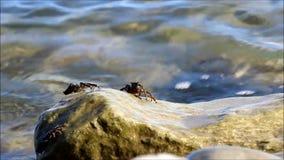 Τα μικρά μαρμάρινα καβούρια του marmoratus Pachygrapsus τρώνε το φύκι από την επιφάνεια της πέτρας στη Μαύρη Θάλασσα απόθεμα βίντεο