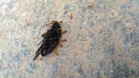 Τα μικρά μυρμήγκια πιάνουν το μεγαλύτερο θήραμα Στοκ Εικόνες