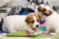 Τα μικρά νεογέννητα άσπρα σκυλιά τεριέ του Russell γρύλων παίζουν σε ένα ζωηρόχρωμο κάλυμμα Στοκ Φωτογραφία