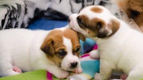 Τα μικρά νεογέννητα άσπρα σκυλιά τεριέ του Russell γρύλων παίζουν σε ένα ζωηρόχρωμο κάλυμμα Στοκ φωτογραφίες με δικαίωμα ελεύθερης χρήσης