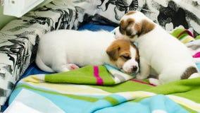 Τα μικρά νεογέννητα άσπρα σκυλιά τεριέ του Russell γρύλων παίζουν σε ένα ζωηρόχρωμο κάλυμμα Στοκ Εικόνες