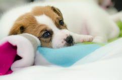 Τα μικρά νεογέννητα άσπρα σκυλιά τεριέ του Russell γρύλων παίζουν σε ένα ζωηρόχρωμο κάλυμμα Στοκ Φωτογραφίες
