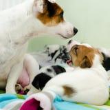 Τα μικρά νεογέννητα άσπρα σκυλιά τεριέ του Russell γρύλων παίζουν σε ένα ζωηρόχρωμο κάλυμμα Στοκ Εικόνα