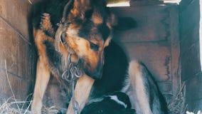 Τα μικρά νεογέννητα κουτάβια απορροφούν το γάλα μητέρων τους Ο ποιμένας σε μια αλυσίδα στο σκυλόσπιτο ταΐζει τα κουτάβια τους με  απόθεμα βίντεο