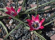 Τα μικρά πορφυρά λουλούδια με μια άσπρη μέση αυξάνονται στο έδαφος Στοκ Εικόνες