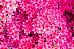 Τα μικρά φωτεινά ρόδινα λουλούδια διευθύνουν το αδιαφανές υπόβαθρο Στοκ εικόνες με δικαίωμα ελεύθερης χρήσης