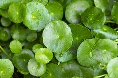 Τα μικρά φύλλα λωτού με τις πτώσεις νερού σε το, φρέσκος και χαλαρώνουν στο θόριο Στοκ Φωτογραφίες