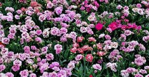 Τα μικρά όμορφα λουλούδια των διαφορετικών χρωμάτων κλείνουν επάνω στοκ εικόνα