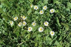 Τα μικρά chamomiles άνθισαν και τέντωσαν προς τον ήλιο Στοκ φωτογραφία με δικαίωμα ελεύθερης χρήσης