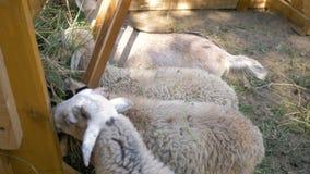 Τα μικρές πρόβατα και οι αίγες τρώνε τη χλόη από τη γούρνα στη μάντρα απόθεμα βίντεο