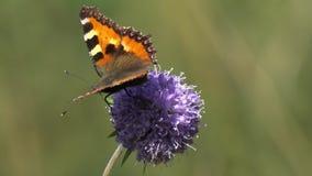 Τα μικρό urticae του /Aglais ταρταρουγών πεταλούδων, Nymphalis urticae/και η μύγα το /Eristalis tenax/κηφήνων είναι στο άγριο πορ απόθεμα βίντεο