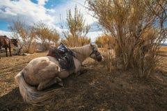 Τα μογγολικά άλογα είναι κοντά στο Yurt στις στέπες της δυτικής Μογγολίας Φύση Στοκ Εικόνα