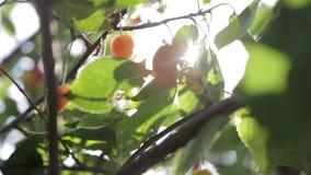 τα μούρα φυτεύουν το πράσινο κόκκινο δέντρο τομέων με θάμνους απόθεμα βίντεο