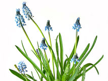 τα μπλε λουλούδια αναπηδούν το λευκό Στοκ φωτογραφία με δικαίωμα ελεύθερης χρήσης