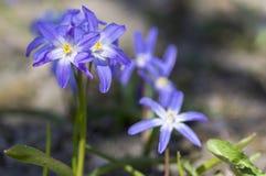 Τα μπλε μικρά λουλούδια άνοιξης luciliae Scilla στη χλόη, κλείνουν επάνω το βολβοειδές ανθίζοντας φυτό άποψης στοκ φωτογραφία με δικαίωμα ελεύθερης χρήσης