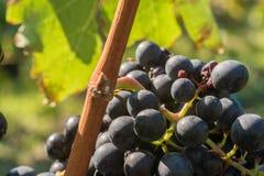 Τα μπλε πορτογαλικά ως ποικιλία σταφυλιών για ένα αρωματικό κόκκινο κρασί στοκ φωτογραφίες με δικαίωμα ελεύθερης χρήσης