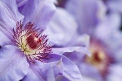 τα μπλε clematis ανθίζουν το ροζ Στοκ εικόνα με δικαίωμα ελεύθερης χρήσης