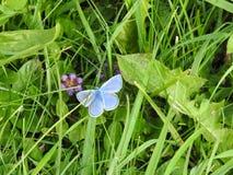 Τα μπλε ουράνια ή μπλε adonis Argus είναι μια μικρή πεταλούδα Στοκ Φωτογραφίες