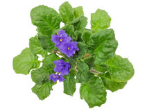Τα μπλε λουλούδια με τα πράσινα φύλλα Στοκ εικόνες με δικαίωμα ελεύθερης χρήσης