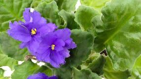 Τα μπλε λουλούδια με τα πράσινα φύλλα Στοκ Φωτογραφίες