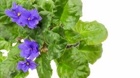 Τα μπλε λουλούδια με τα πράσινα φύλλα Στοκ εικόνα με δικαίωμα ελεύθερης χρήσης