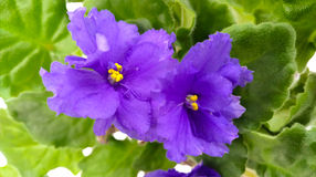 Τα μπλε λουλούδια με τα πράσινα φύλλα Στοκ Φωτογραφία