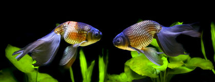 Τα μπλε ψάρια αυγών του Φοίνικας Στοκ φωτογραφία με δικαίωμα ελεύθερης χρήσης