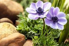 Τα μπλε anemones καλλιεργούν την άνοιξη Στοκ Εικόνες