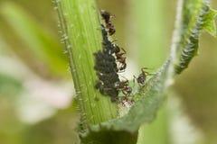 Τα μυρμήγκια βόσκουν aphids Στοκ εικόνες με δικαίωμα ελεύθερης χρήσης