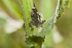 Τα μυρμήγκια βόσκουν aphids Στοκ Εικόνες