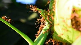 Τα μυρμήγκια είναι αναγνώριση στα φύλλα μάγκο απόθεμα βίντεο