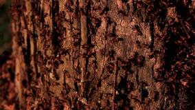 Τα μυρμήγκια ζουν σε ένα παλαιό σάπιο κολόβωμα σημύδων pan απόθεμα βίντεο