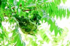 Τα μυρμήγκια θα χτίσουν τις φωλιές τους με τα φύλλα χρησιμοποιώντας το σάλιο για να τις κρατήσουν από κοινού Στοκ φωτογραφία με δικαίωμα ελεύθερης χρήσης