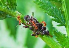 Τα μυρμήγκια συλλέγουν το μελίτωμα από τα aphids Στοκ φωτογραφία με δικαίωμα ελεύθερης χρήσης