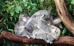 τα μωρά αντέχουν τη μητέρα koala Στοκ εικόνες με δικαίωμα ελεύθερης χρήσης