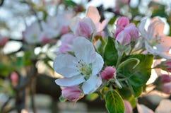 Τα νέα λουλούδια Apple-δέντρων καλλιεργούν την άνοιξη Στοκ Φωτογραφίες